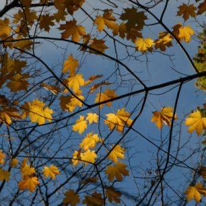 Autumn_Maple_Art_House_Gallery_Ireland