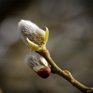 Spring bud, Ards Forest Park, Art House Gallery Ireland