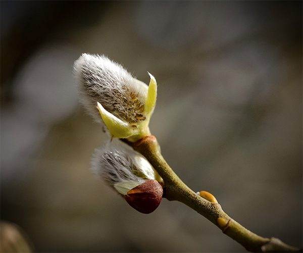 Spring bud, Ards Forest Park, Art House Gallery Ireland